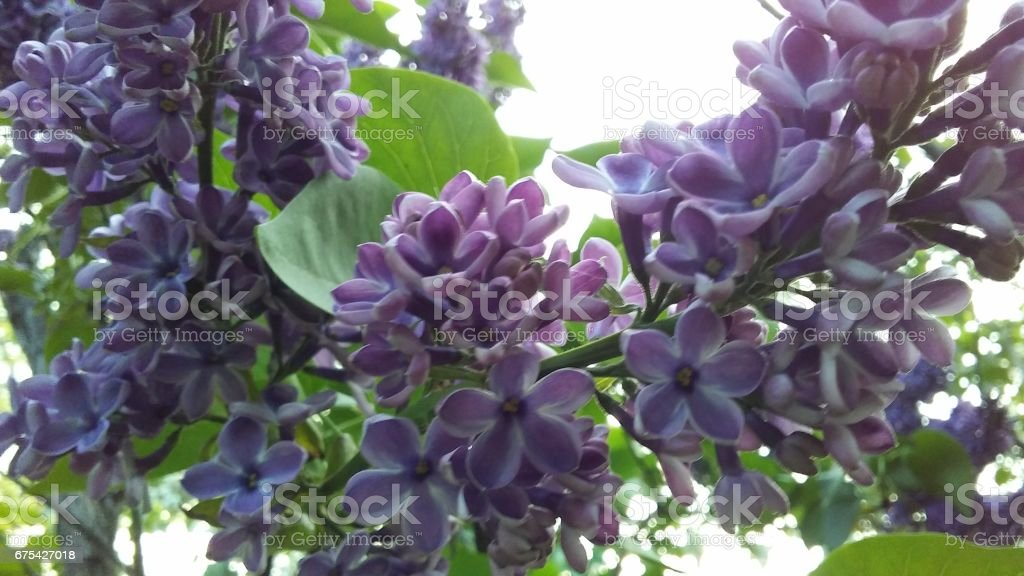Syringa (Lilac) Plant Blossoming in Shakespeare Garden in Spring in Central Park in Manhattan, New York, NY. photo libre de droits