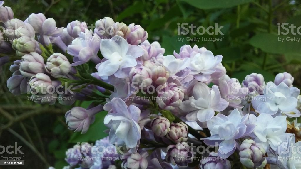 Syringa (Lilac) Plant Blossoming in Spring in Central Park in Manhattan, New York, NY. photo libre de droits