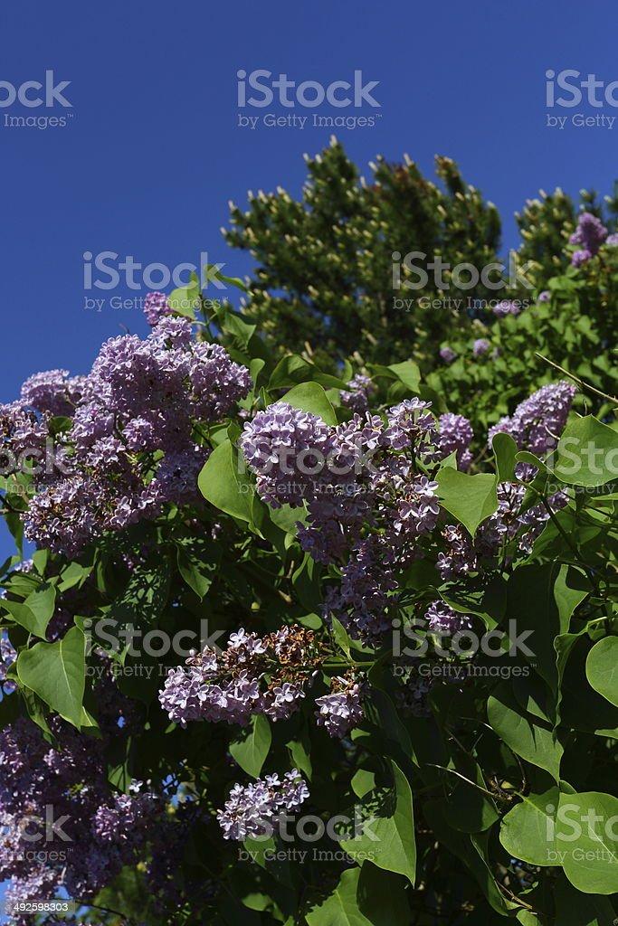 Syringa vulgaris (lilac or common lilac) at spring stock photo