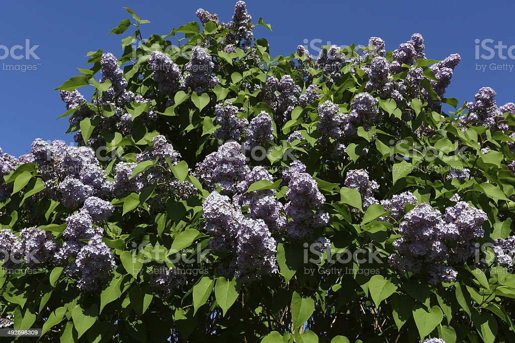 Syringa vulgaris (lilac or common lilac) at spring stock photo