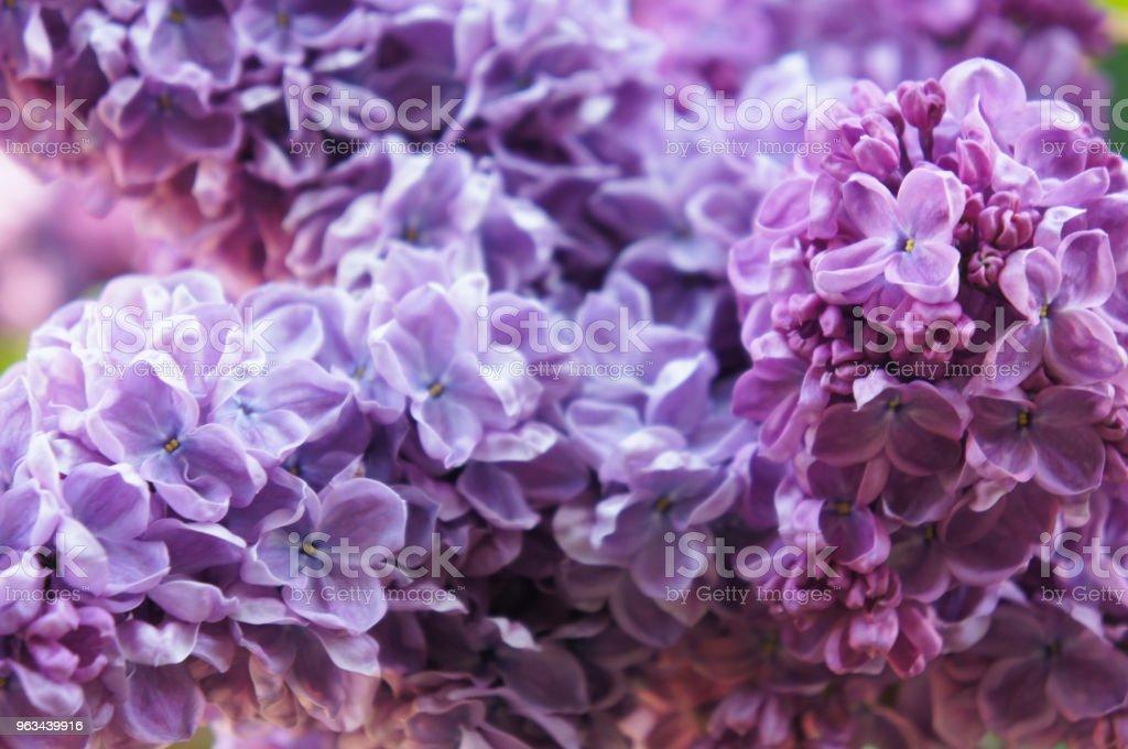 Syringa vulgaris commune lilas fleurs violettes bouchent de fond - Photo de Arbre libre de droits