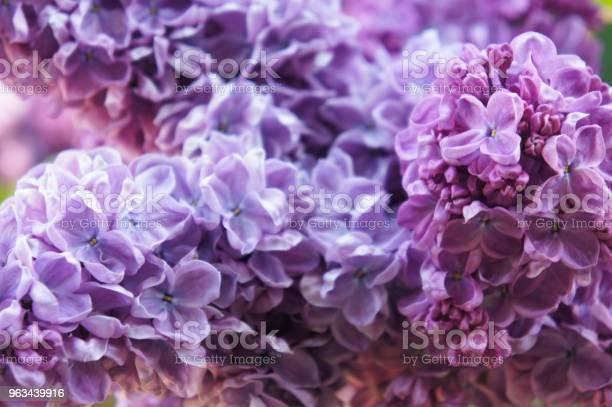 Syringa Vulgaris Wspólne Fioletowe Kwiaty Bzu Z Bliska Tła - zdjęcia stockowe i więcej obrazów Bez ludzi