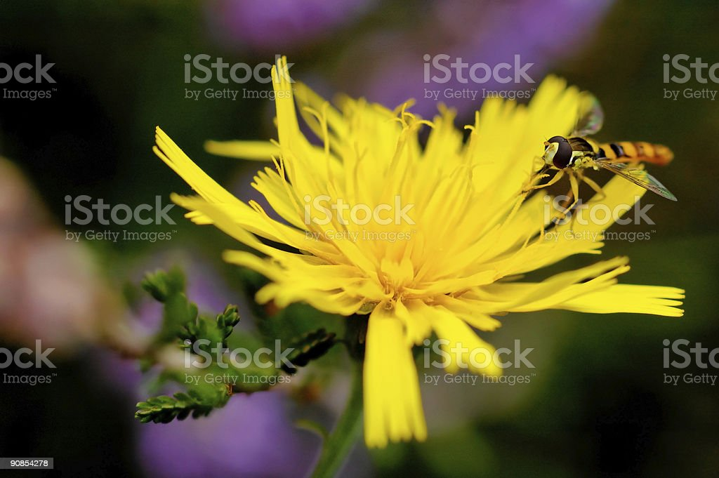 Syrphe (Syrphus ribesil) royalty-free stock photo