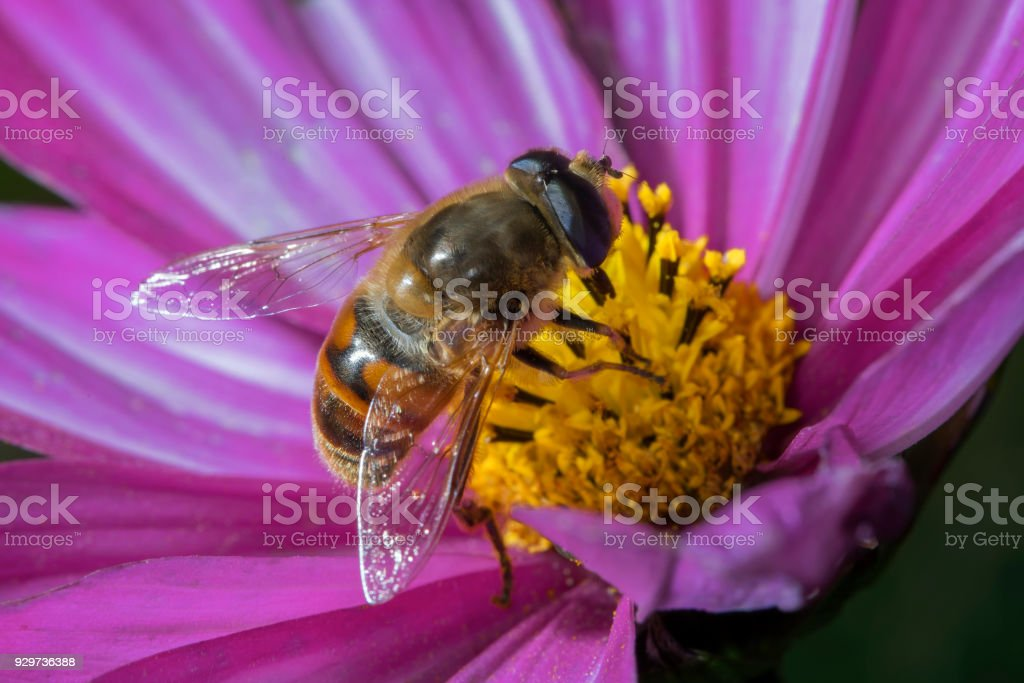Syrphid fly. Eupeodes luniger collects nectar from the pink flower Cosmos bipinnatus. Macro photo. Natural background. stock photo