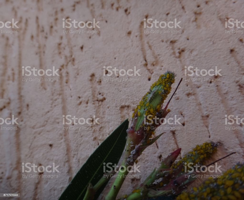 Syrphid fly larva and nerium aphids in oleander plant stock photo