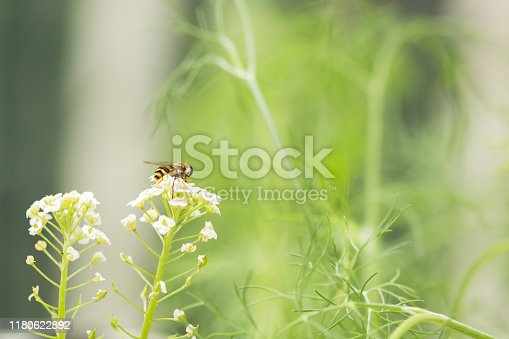 A hoverfly resting on top of a sweet alyssum flower plant. Blur background with copy space and no people. Horizontal composition.