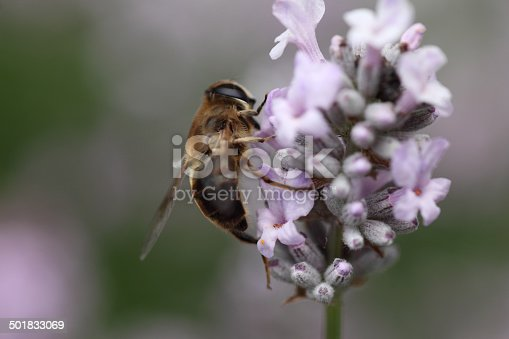 Close up image of a hoverfly in a lavender flower