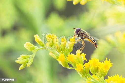 Syrphid - Hover Fly on Garden Flowers Closeup and detailed.