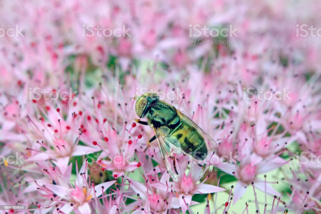syrphidae gather nectar from flowers royalty-free stock photo