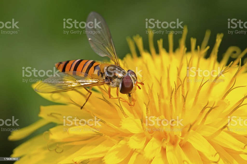 syrphidae insects royalty-free stock photo