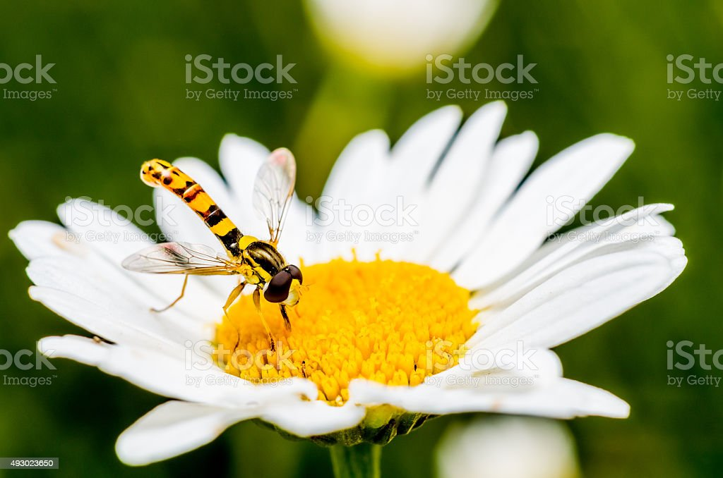 Syrphidae on a flower stock photo