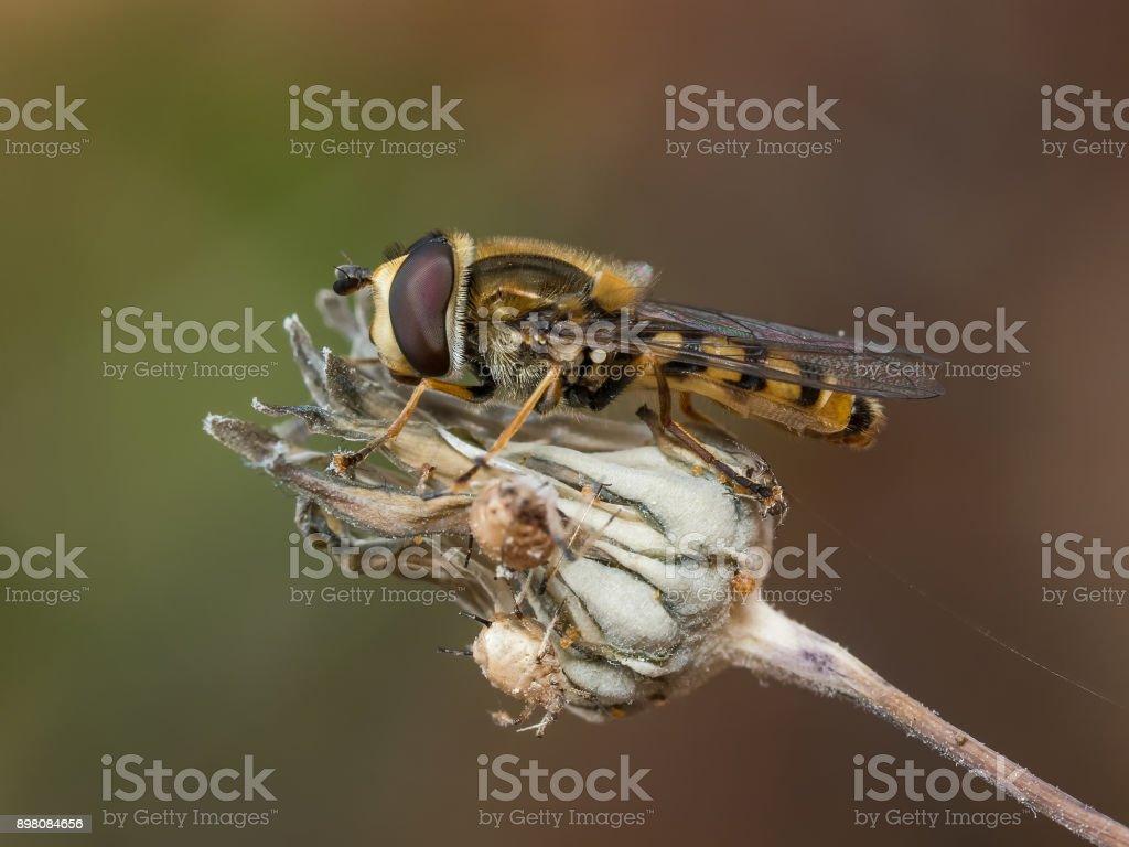 Syrphidae stock photo