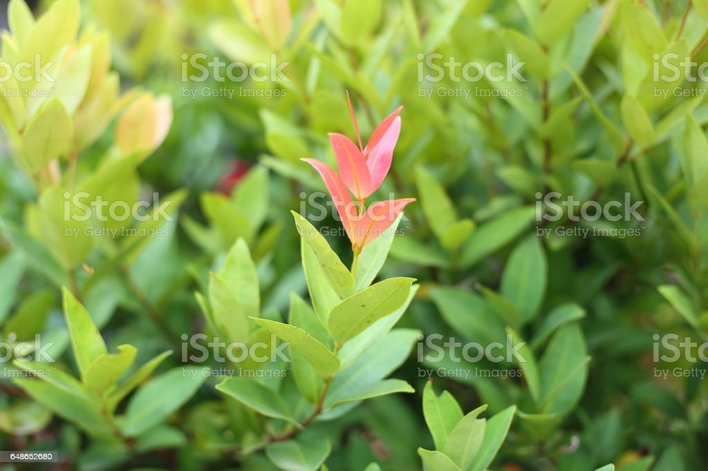 Syzygium australe стоковое фото