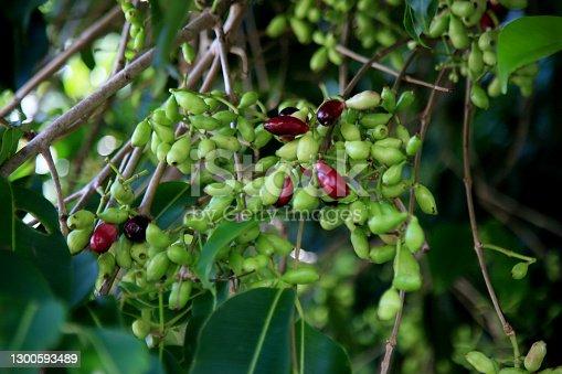 istock syzygium cumini fruit 1300593489
