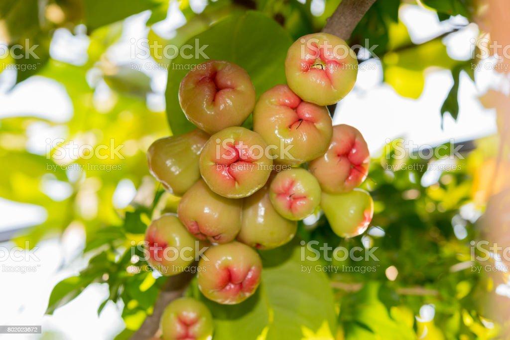 Syzygium Früchte – Foto