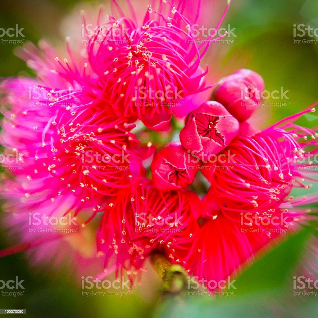 Syzygium Malaccense royalty-free stock photo
