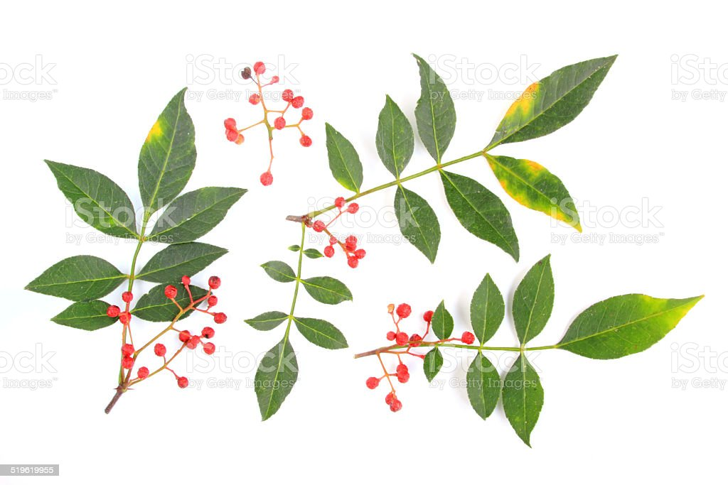 Szechuan pepper (Zanthoxylum piperitum) stock photo