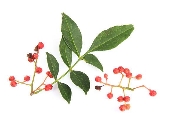 Szechuan-Pfeffer (Zanthoxylum piperitum) – Foto