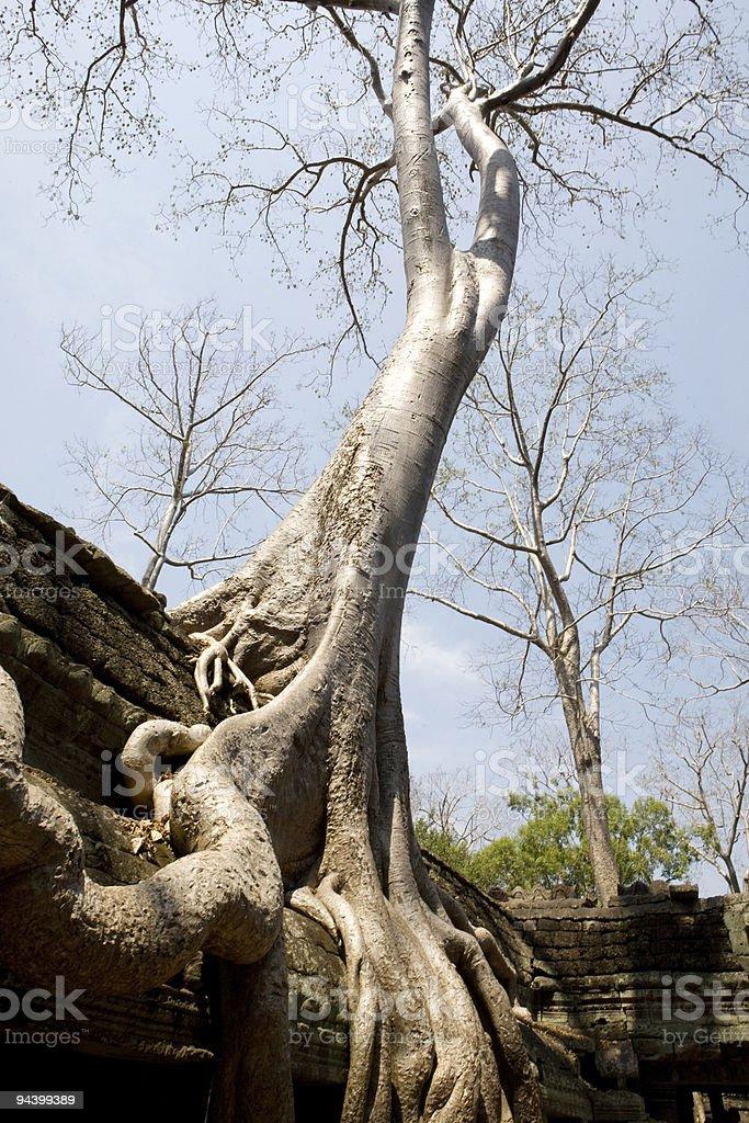 Ta Prohm, Angkor, Cambodia royalty-free stock photo