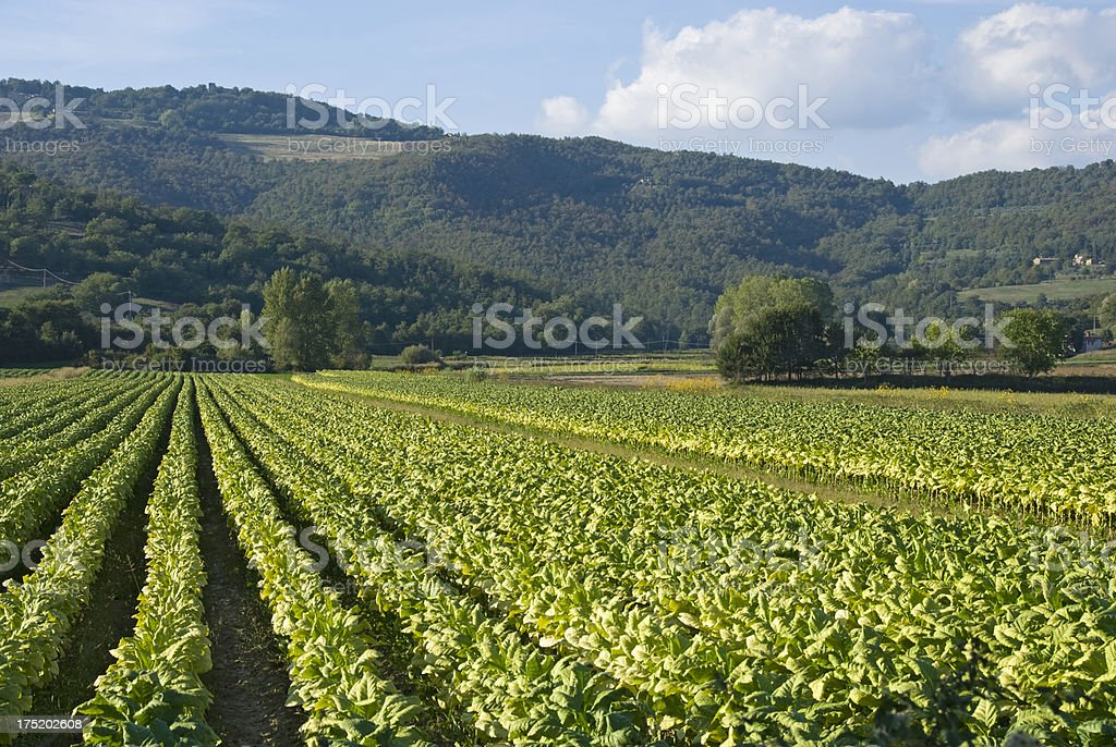 """Tabacco Crop """"Tobacco crop, ready to be picked."""" Agricultural Field Stock Photo"""