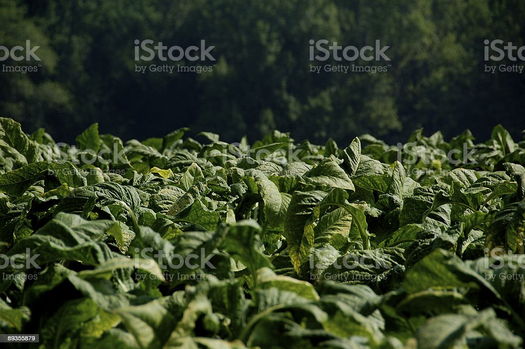 Tabacco Field stock photo