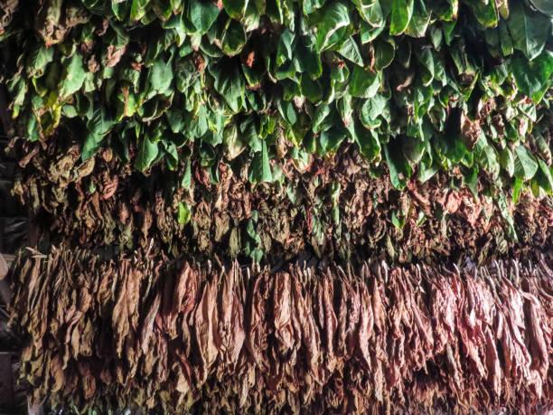 在爾斯,古巴煙葉生產圖像檔