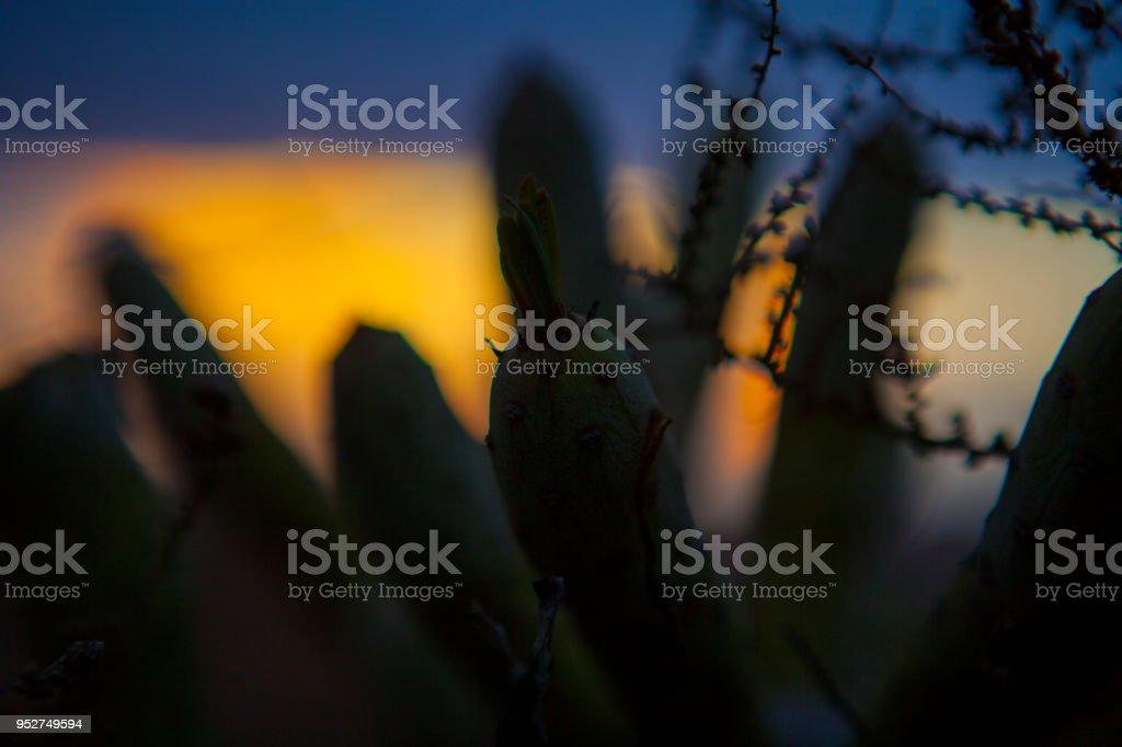 Fuerteventura mountain slope endemic flora, Euphorbia balsamifera