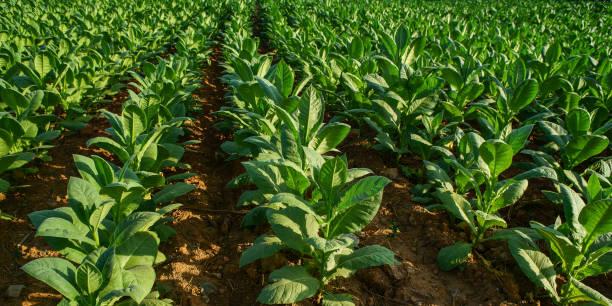tabakplantage - havadi-nagy stock-fotos und bilder
