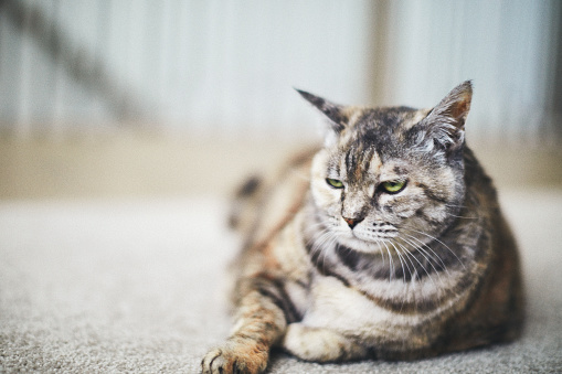 Tabby adult cat relaxing on carpet with grumpy expression