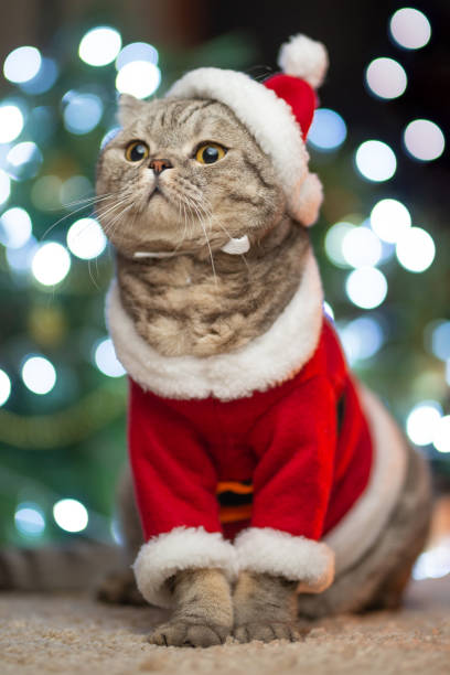 Tabby and the happy cat christmas season 2019 new year holidays and picture id1044448944?b=1&k=6&m=1044448944&s=612x612&w=0&h=sueswq5nqpssbf h3lpynbdf4ehrwcr3cj9ozxjef5w=