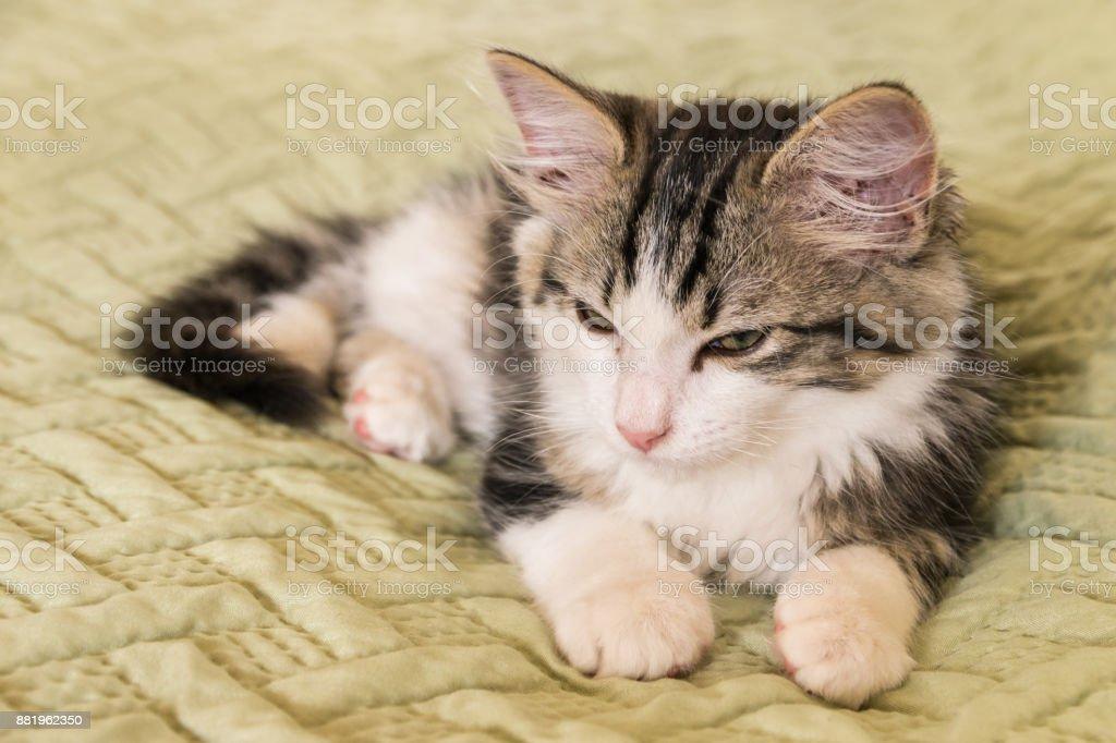 tabby and white cat lying on green duvet stock photo