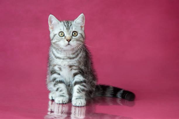 Tabby british shorthair kitten britain cat on cherry studio with picture id1014361194?b=1&k=6&m=1014361194&s=612x612&w=0&h=dhhh f6unbp39aeffrlbvso5c2naayn7yoens499vra=