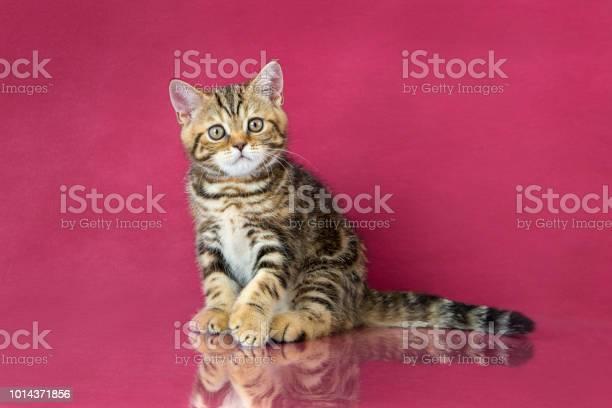 Tabby british shorthair kitten britain cat on cherry studio with picture id1014371856?b=1&k=6&m=1014371856&s=612x612&h=o 3uchtawg1900nmc8w3m72uhz0ujryen1fovzmfows=