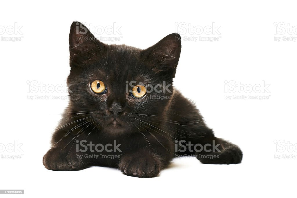 Tabby British Shorthair Kitten on white background stock photo
