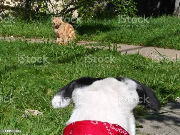 Tabby cat and a border collie dog are outdoor on a sunny day picture id1143539496?b=1&k=6&m=1143539496&s=612x612&h=jnu4lik9wxho0n070bybgoxmiv g8s1wtst5l19jyvc=