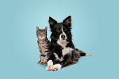 istock tabby cat and border collie dog 1306543850