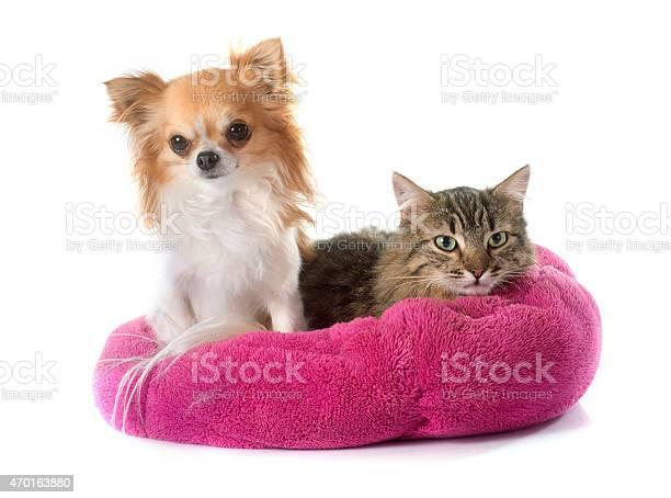 Tabby cat and chihuahua picture id470163880?b=1&k=6&m=470163880&s=612x612&h=svj qinoof rpzj 7q91 wigye1f zqjvncecz00zl0=