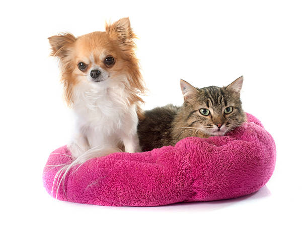 Tabby cat and chihuahua picture id470163880?b=1&k=6&m=470163880&s=612x612&w=0&h=exi3rdmawa9hfg1gwktqkth3zqgtrunklukdsck5kpi=