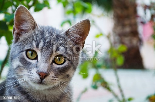 Curious gray cat is looking at the camera outdoors