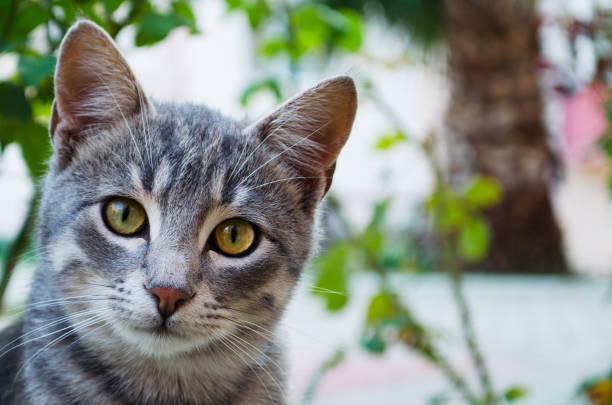 tabby katze und seine neugierige blicke - suche katze stock-fotos und bilder