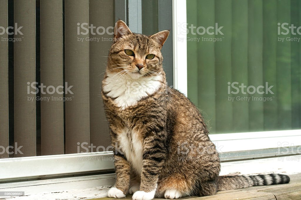 Tabby cat at house door royalty-free stock photo