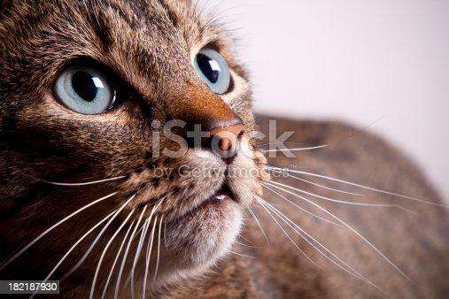 istock Tabby Cat Closeup 182187930