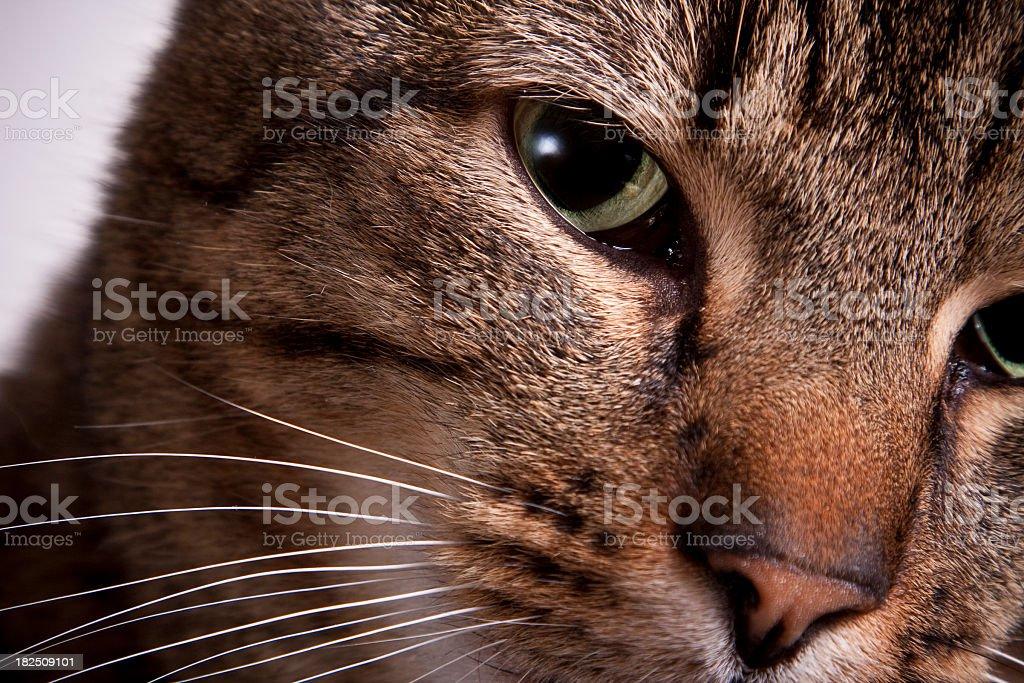 Tabby Cat Closeup royalty-free stock photo