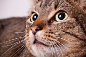 A closeup image of a wide-eyed tabby