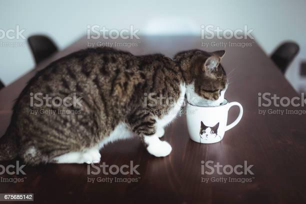 Tabby cat drinking in a cup picture id675685142?b=1&k=6&m=675685142&s=612x612&h=jgracnf973fn2 lbam hxf7jt6ht6hy0sah1e13ja1u=