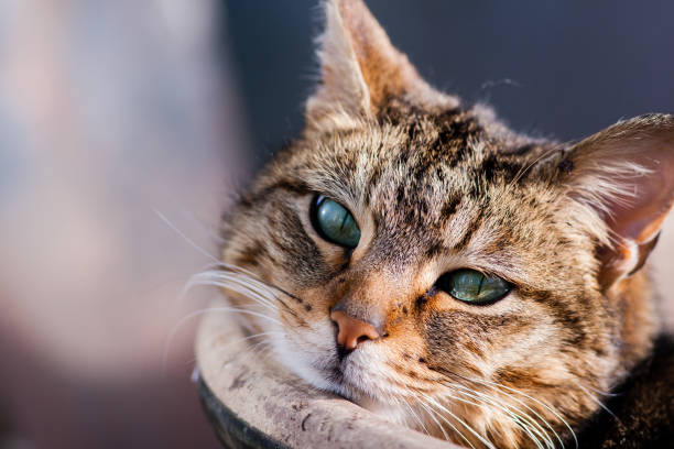 Tabby cat gazing at camera laying against flowerpot