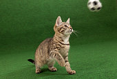 tabby cat grabbing for soccer ball