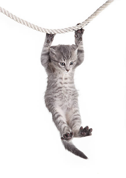 tabby cat hanging on rope stock photo