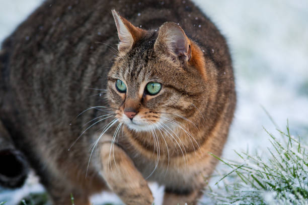 Tabby cat hunting in snow