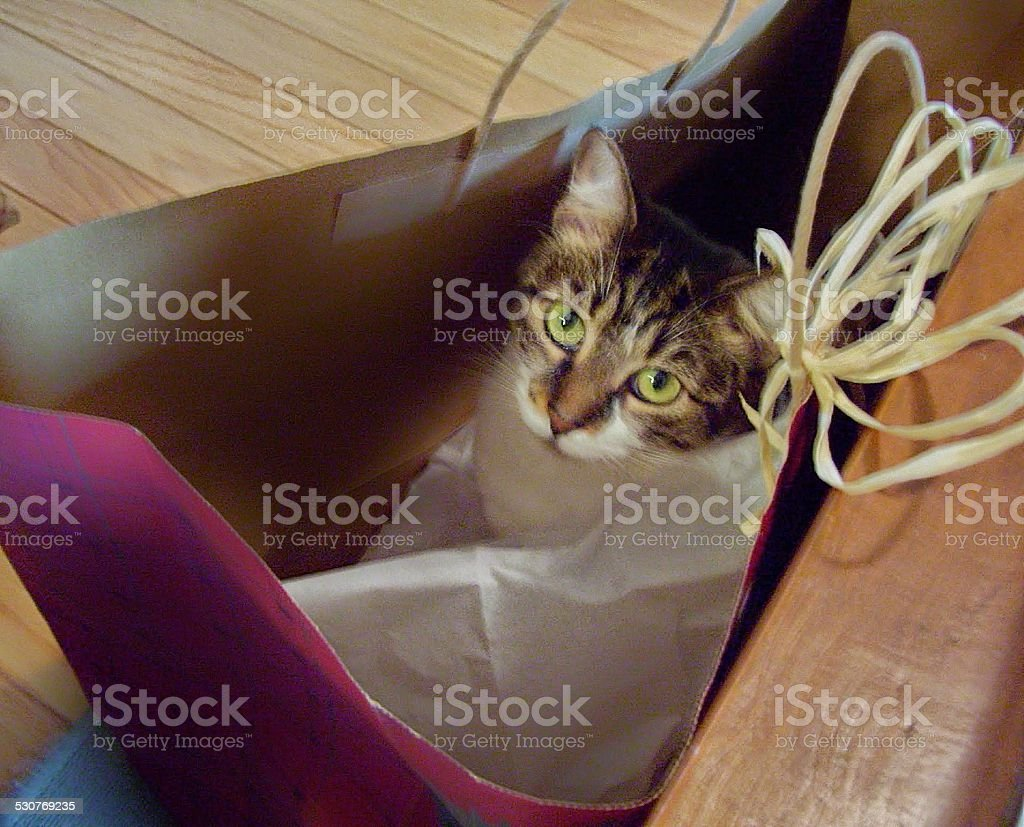 Tabby Cat in a Gift Bag stock photo